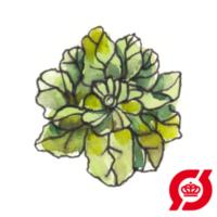 spinat-zealand