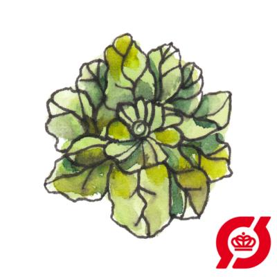 Image of   Spinat (øko)
